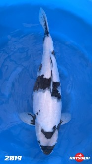Afbeelding Sansai Koi Omosako Shiro Utsuri Female 66 cm (Azukari Japan) C219OSUT2045