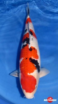 Afbeelding Sansai Koi Takigawa Sanke Female 68 cm C319TSSA2048